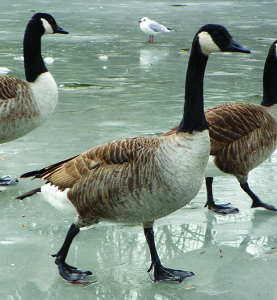 Canada Geese Photo by Peter O'Connor