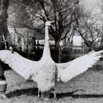 Two boys ca. 1910 with swan hunted in the Easton, MD area, from the collection of C. John Sullivan.